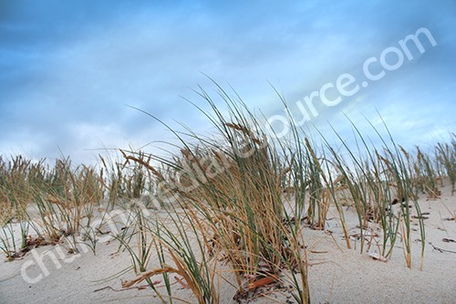 dune grass image